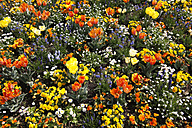 Germany, tulips and flowers on field in spring - JTF000513