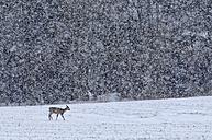Germany, Schleswig-Holstein, Roe deer in snow - HACF000087