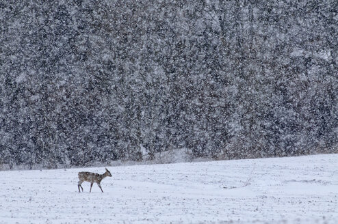 Germany, Schleswig-Holstein, Roe deer in snow - HACF000087