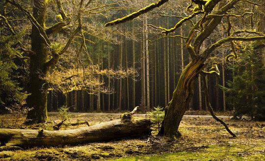 Germany, Bavaria, Trees in Hofolding Forest - FCF000120