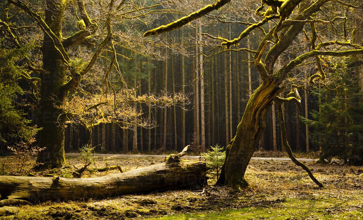 Germany, Bavaria, Trees in Hofolding Forest - FCF000120 - Christina Falkenberg/Westend61