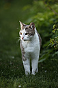 Germany, Baden-Wuerttemberg, Grey white tabby cat, Felis silvestris catus, standing on meadow - SLF000403