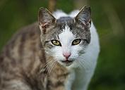 Germany, Baden-Wuerttemberg, Grey white tabby cat, Felis silvestris catus, Portrait - SLF000405