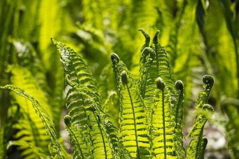 Germany, Ferns in spring - JTF000535