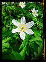 Wood Anemone (Anemone nemorosa), Spring, Germany - CSF021298