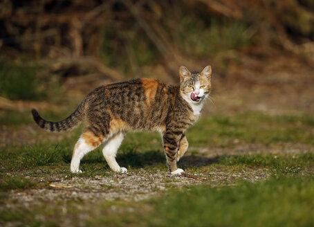 Germany, Baden-Wuerttemberg, Red brown tabby cat, Felis silvestris catus - SLF000406