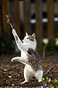 Germany, Baden-Wuerttemberg, Brown and white tabby cat, Felis silvestris catus, playing - SLF000409