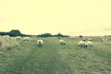 Germany, Mecklenburg-Western Pomerania, Hiddensee, Sheep on willow - CMF000114