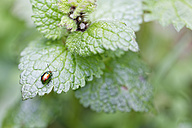 Dead nettle leaf beetle, Chrysolina fastuosa, sitting on leaf - GFF000459