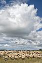 New Zealand, Chatham Island, Waitangi, Flock of sheep - SHF001208