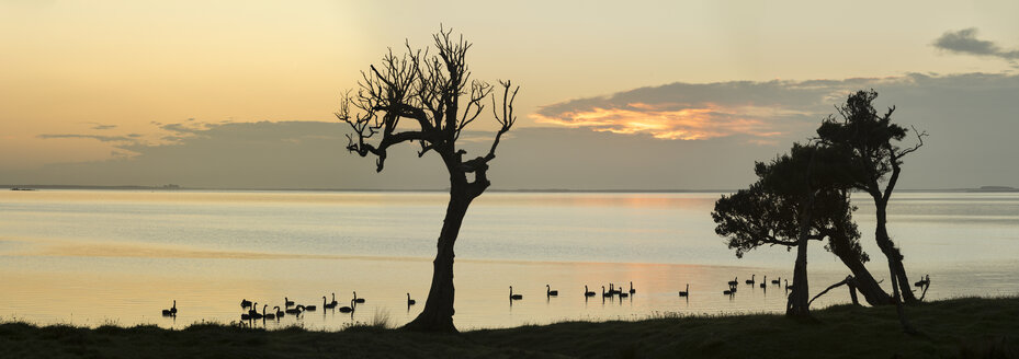 New Zealand, Chatham Island, Silhouette of trees and swans at Blind Jims Creek - SHF001187
