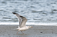 Germany, Schleswig-Holstein, Herring gull, Larus argentatus - HACF000106
