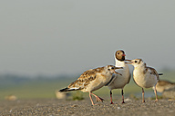 Germany, Schleswig-Holstein, Black-headed gulls, Chroicocephalus ridibundus, Adult and young animals - HACF000103
