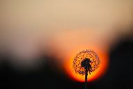 Germany, Blowball, Common dandelion, Taraxacum officinale, in the evening - JTF000539
