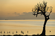 New Zealand, Chatham Island, Silhouette of trees and swans at Blind Jims Creek - SHF001205
