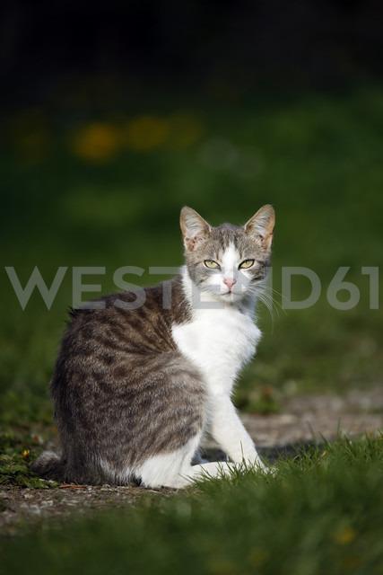 Germany, Baden-Wuerttemberg, Grey white tabby cat, Felis silvestris catus, sitting on meadow - SLF000412