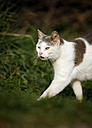 Germany, Baden-Wuerttemberg, Grey white tabby cat, Felis silvestris catus, walking on meadow - SLF000414