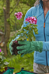 Woman in garden repotting cranesbill - AKF000388