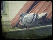 Pigeon, sitting on rain gutter, Vaihingen/Enz, Baden-Wuerttemberg, Germany - SBDF000833