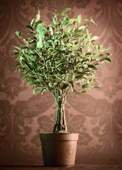 Plant pot, tree, indoor plant - CNF000036