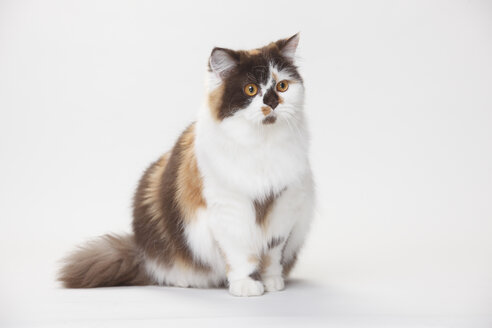 Portrait of British Longhair Cat sitting in front of white background - HTF000438