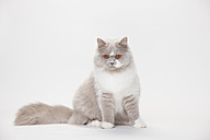 Portrait of British Longhair Cat sitting in front of white background - HTF000441