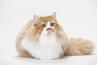 Portrait of British Longhair tomcat lying in front of white background - HTF000443