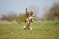 Portrait of German Boxer playing with a toy on a meadow - HTF000461
