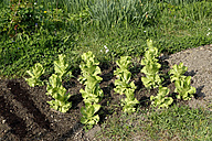 Bed with growing organic lettuce plants - NDF000442