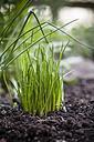 Germany, Baden-Wuerttemberg, Chive, Allium schoenoprasum, in garden - SBDF000847