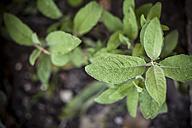 Germany, Baden-Wuerttemberg, Sage, Salvia officinalis, in garden - SBDF000850