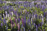 New Zealand, violet lupines, Lupinus - STDF000051
