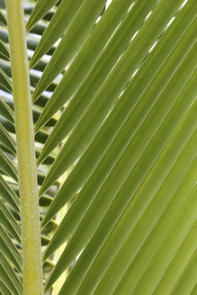 Oceania, Fiji Islands, Palm leaf, close-up - STDF000067