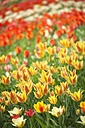 Germany, Constanze district, Tulips, Tulipa, on meadow - ELF000945