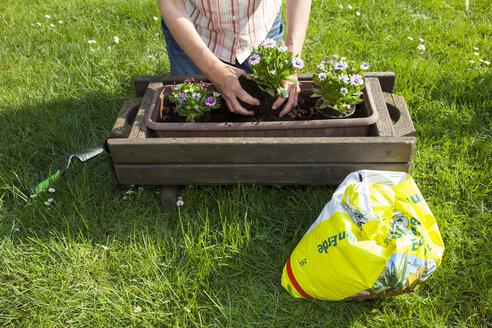 Germany, Woman planting flowers in garden - WIF000628