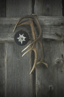 Edelweiss on wood plate and deer antlers hanging on wooden wall - ASF005351