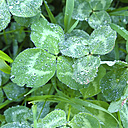 Water drops on clover leaves, Bavaria, Germany - MAEF008303