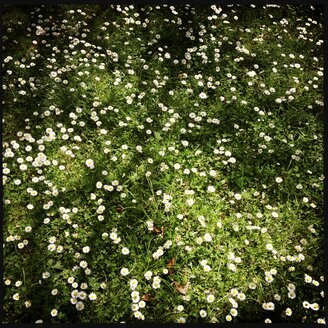 Grass covered with daisies, Germany - SRSF000468