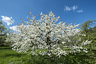 Germany, Baden-Wuerttemberg, Constance District, Meadow with scattered fruit trees, Apple tree, Malus - ELF000959