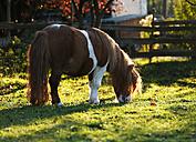 Germany, Baden-Wuerttemberg, Hohenlohe, Minishetty pony, Equus ferus caballus, Skewbald horse, Stud grazing - SLF000437