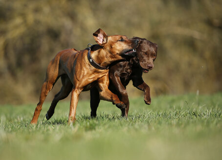 Rhodesian Ridgeback and brown Labrador Retriever, Canis lupus familiaris, running on a meadow - SLF000440