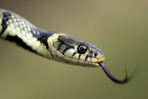 European Grass Snake, Natrix, natrix, with outstretched tongue - MJOF000043