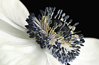 Detail of white anemone in front of black background - MJOF000049