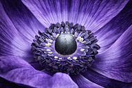 Detail of violet anemone - MJOF000012
