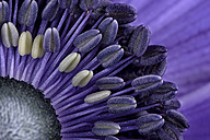 Detail of violet anemone - MJOF000013