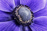 Detail of violet anemone - MJOF000018