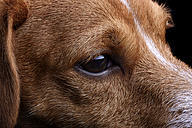 Head of Jack Russel Terrier, partial view - MJOF000059