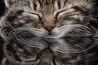 Portrait of sleeping tabby kitten, Felis silvestris catus, partial view - MJOF000080