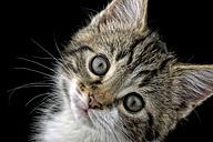 Portrait of tabby kitten, Felis silvestris catus, in front of black background - MJOF000084