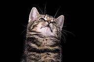 Portrait of tabby kitten, Felis silvestris catus, in front of black background - MJOF000088
